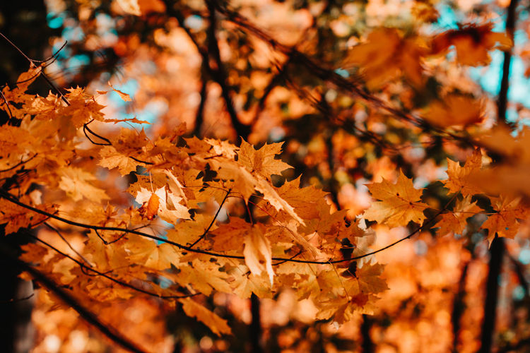Autumn Change Plant Tree Plant Part Leaf Orange Color Selective Focus Beauty In Nature Branch Nature Day Focus On Foreground Maple Leaf Close-up Leaves No People Growth Outdoors Vulnerability  Maple Tree Natural Condition Autumn Collection