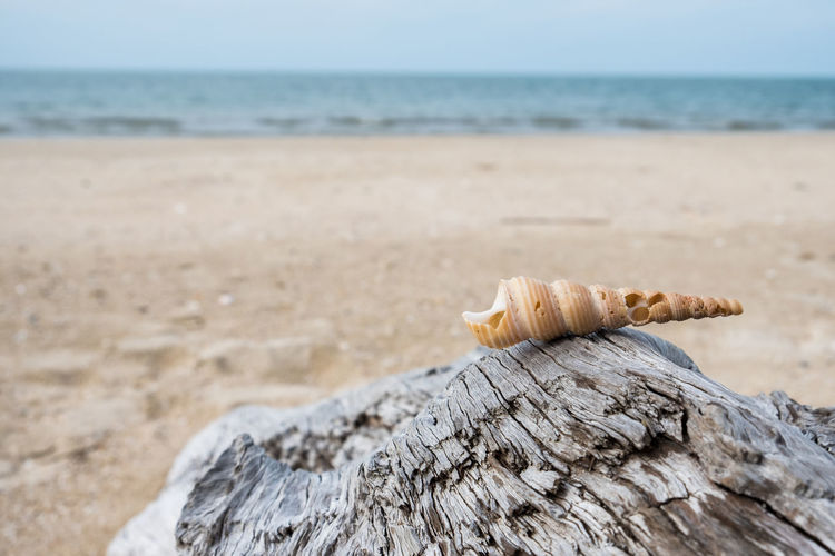Close-up of sea shell on driftwood at beach