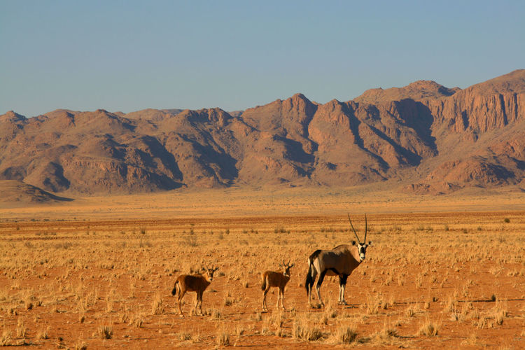 Oryx on field by mountains against clear sky