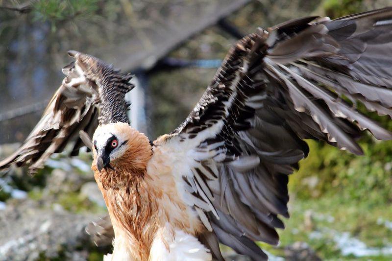 EyeEmNewHere Ossifrage Lammergeyer Bearded Vulture Lammergeier Bird Animal Themes Animals In The Wild Focus On Foreground Animal Wildlife One Animal Day Spread Wings Nature Outdoors Beak Bird Of Prey The Great Outdoors - 2018 EyeEm Awards