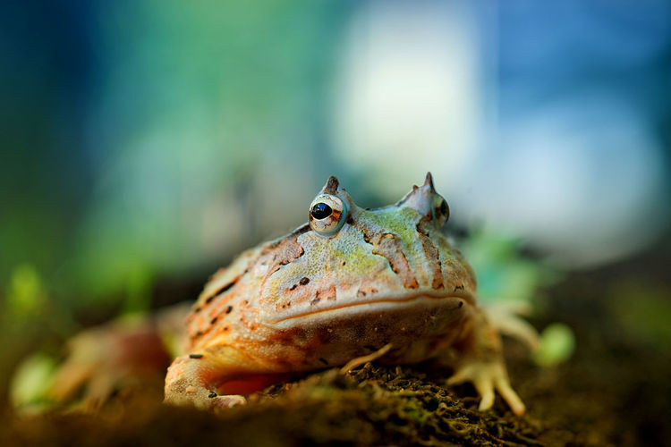 PacMan Frog Alone EyeEm Nature Lover Frog Pacman Frog Amphibian Animal Themes Animal Wildlife Animals In The Wild Beauty In Nature Bokeh Ceratophrys Close-up Day Horned Frog Nature No People One Animal Outdoors Pacman Selective Focus