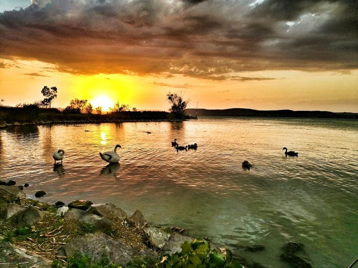 Sunset Animals In The Wild Animal Wildlife Cloud - Sky Lake Beauty In Nature No People Landscape Water Nature Swan Swans Swans ❤ Balaton - Hungary Balatonlelle Balaton Balaton Lake Balaton☺ Balaton Hungary Swans Of Eyeem Swan In A Lake Swan Family