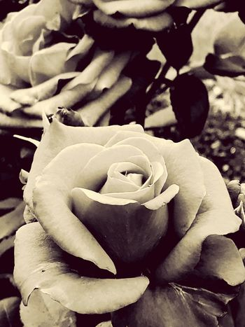 Vintage Rose... Flower Collection Roses_collection Still Life Roses, Flowers, Nature, Garden, Bouquet, Love, Beauty Is Everywhere  Vintage Photo The Creative - 2018 EyeEm Awards The Great Outdoors - 2018 EyeEm Awards The Still Life Photographer - 2018 EyeEm Awards StillLifePhotography Flower Flowering Plant Plant Flower Head Inflorescence Petal Rosé Beauty In Nature Freshness Growth Vulnerability  Close-up Fragility Rose - Flower Nature Focus On Foreground Springtime Outdoors No People Day