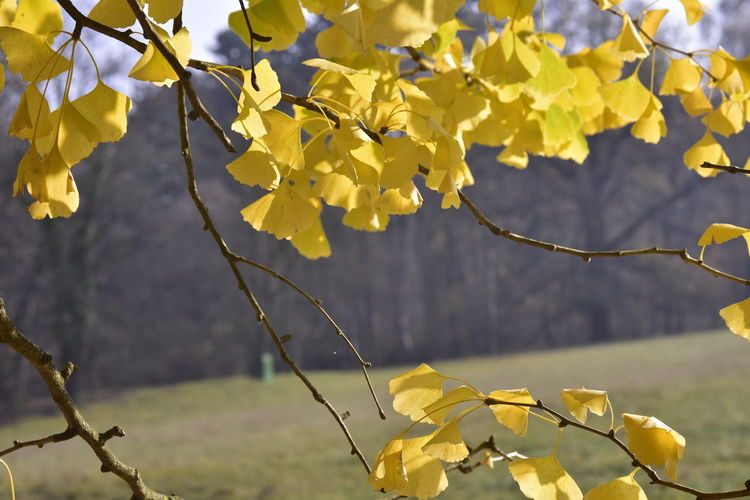 Plant Yellow Beauty In Nature Focus On Foreground No People Branch Growth Tree Fall Colors Autumn Leaves