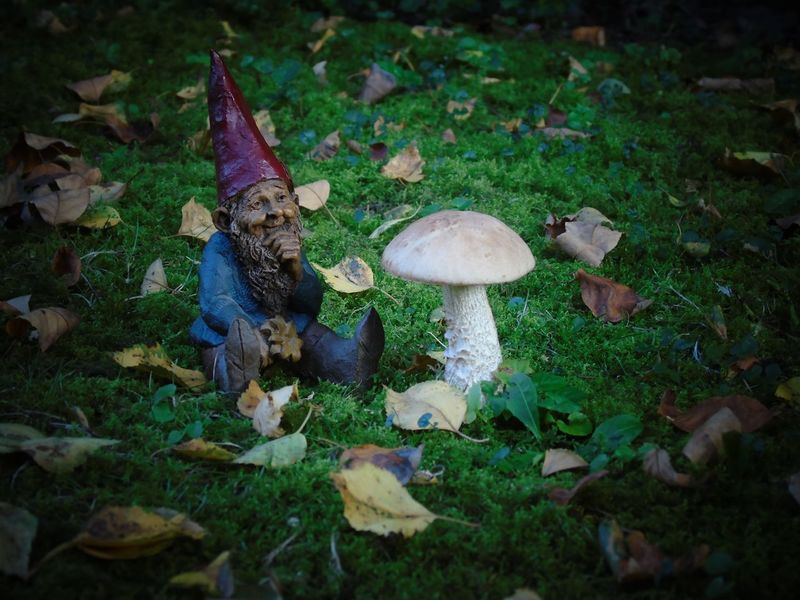Our own little Leprechaun Folklore in Autumn FolkTales Kabouter Spillebeen Autumn Beauty In Nature Close-up Day Folklore Folktale Forest Fragility Freshness Fungus Growth Kabouter Leaf Leipreachán Leprechaun Mushroom Nature No People Outdoors Toadstool Vegetable