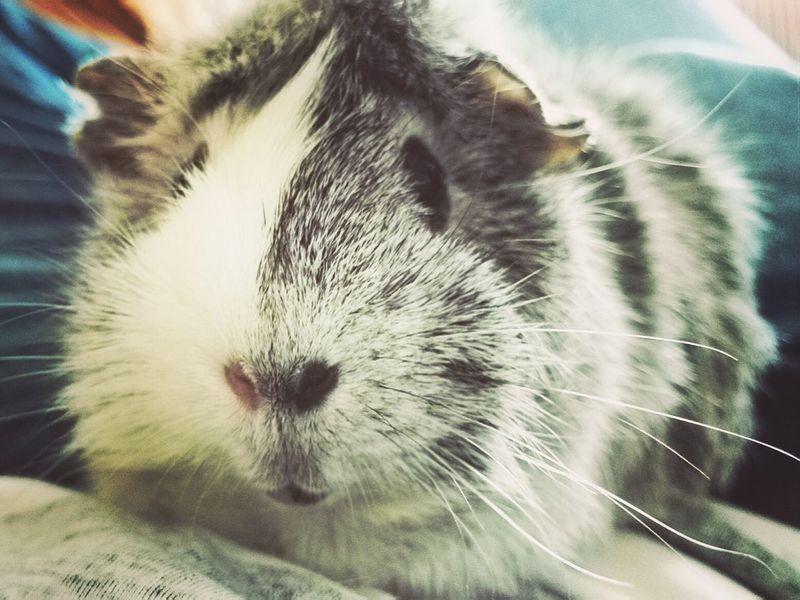 <3 Guinea Pig Cute Pets
