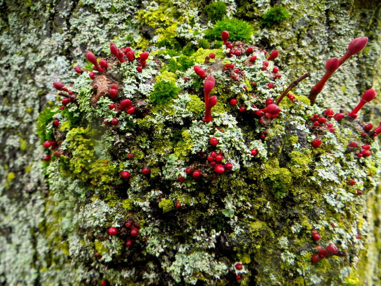 Every tree mosses it's own spring Botany Branch Bud Change Close-up Coloursplash Ewandraful EyeEm Nature Lover Focus On Foreground Freshness Growing Growth Leaf Lichen Lichen On A Tree Lichens Moss & Lichen Mossporn Mossy Mossy Tree Nature On Your Doorstep Red Red And Green Springtime Twig