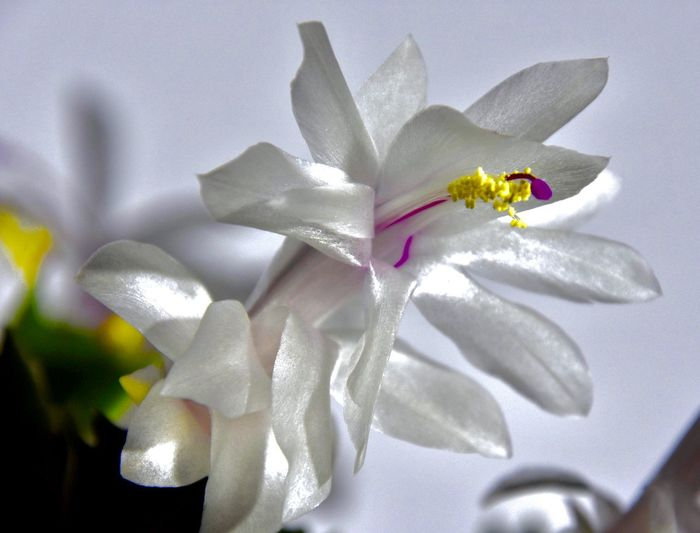 Weiße Blütenpracht 🎉✨ Flower Flowering Plant Beauty In Nature Plant Petal Close-up #NotYourCliche Love Letter No People Vulnerability  Fragility White Color Inflorescence Still Life Indoors  Flower Head Jewelry High Angle View Nature Freshness Art And Craft Purple