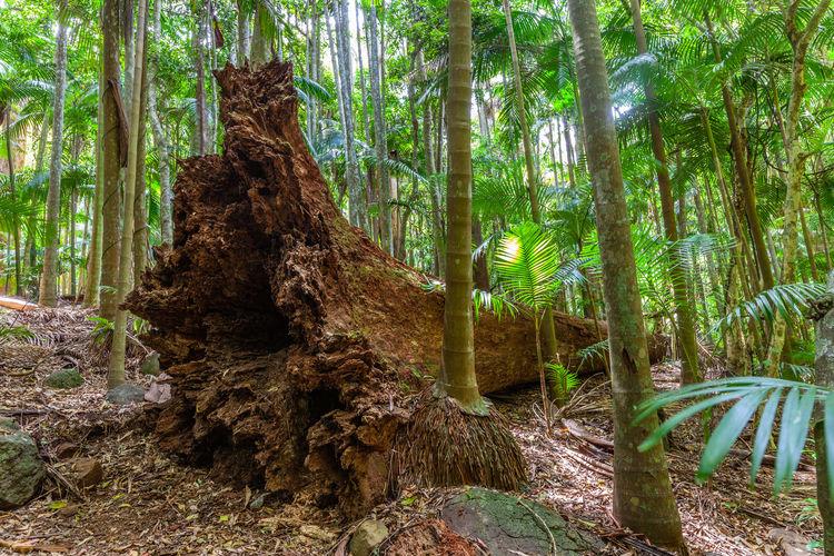 Forest Gondwana Rainforests Landscape National Park QLD Queensland Rainforest Travel Locations World Heritage Area Australia Australian Beautiful Ecology Environment Fallen Tree Fern Trees Ferns Ferntree Lush Outdoors Scenic Travel Destinations Trees Tropical Unesco Vegetation View