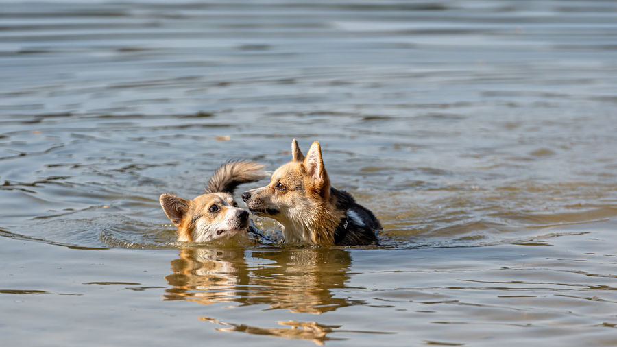 Dog swimming in a water