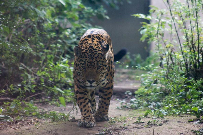 Leopard Wild Cat Wild Animals Animals