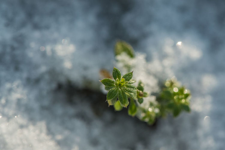 Plant Growth Leaf Selective Focus Plant Part Nature Beauty In Nature Green Color Freshness Close-up Fragility Vulnerability  Tranquility New Life High Angle View Winter Snow Leaves