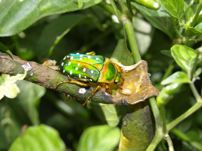 Colorful ugandan beetle Africa Amphibian Animal Beauty In Nature Beetle Close-up Colorful Beetle Day Detail Focus On Foreground Fragility Green Green Color Growth Insect Leaf Natural Pattern Nature No People Outdoors Plant Selective Focus Uganda  Wildlife
