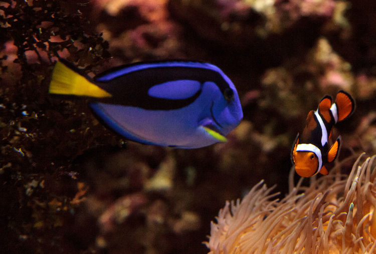 Clownfish Amphiprioninae and royal blue tang Paracanthurus hepatus staying close to a host anemone Amphiprioninae Anemone Aquarium Aquarium Life Clownfish Coral Reef Fish Marine Fish Ocean Palette Surgeonfish Palette Tang Fish Paracanthurus Hepatus Royal Blue Tang Tang Tang Fish Tropical Fish