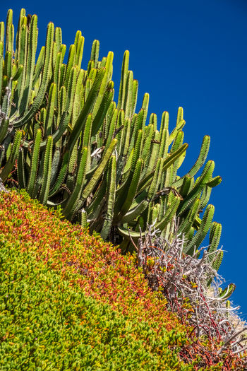 Low angle view of succulent plants on field against clear sky