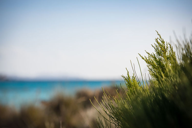 Es Trenc Tranquility, Mallorca, Spain Sky Plant Water Growth Nature Sea Beauty In Nature Tranquility Selective Focus Day Grass Horizon Over Water No People Clear Sky Land Horizon Tranquil Scene Scenics - Nature Green Color Outdoors Marram Grass Timothy Grass