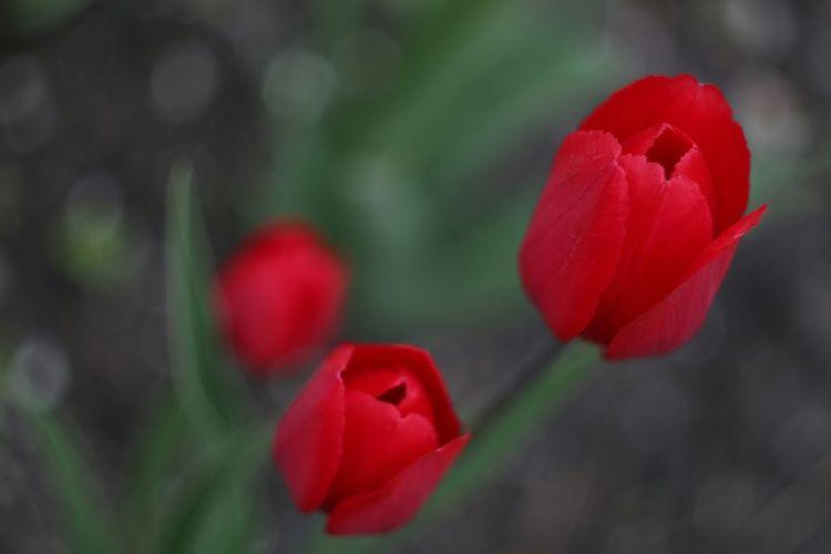 Flowers Flower Collection Tulpen Beautiful Eyemnaturelover EyeEm Flower EyeEm Nature Lover Helios 44-2 58mm F2 Helios 44-2 44-2