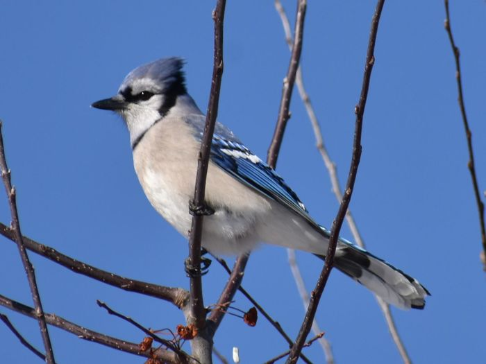 Blue Jay EyeEm Selects Bird Animal Themes Animals In The Wild One Animal Animal Wildlife Perching Tree Nature Outdoors Clear Sky No People Beauty In Nature Day Sky Branch Blue Close-up Low Angle View