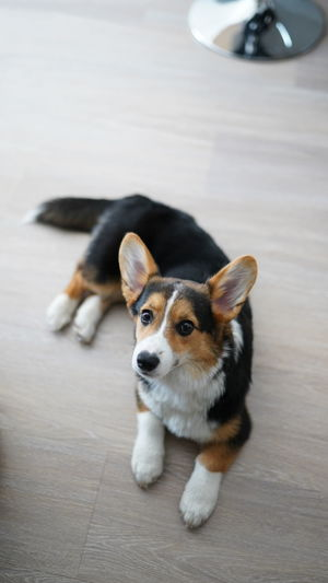 High angle portrait of dog relaxing on floor