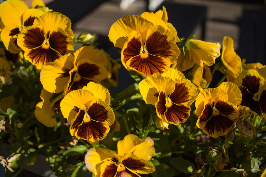 Beauty In Nature Blooming Botany Close-up Day Flower Flower Head Focus On Foreground Fragility Freshness Growth Nature No People Outdoors Pansy Petal Plant Yellow
