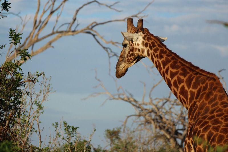 Kenia Safari Giraffe Giraffe Animal