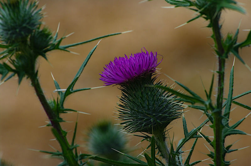 Close-up of purple thistle flowers