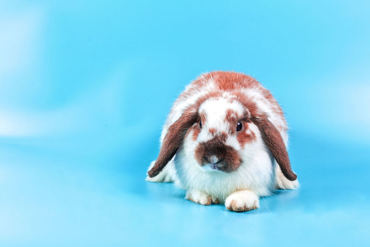 Happy Easter Day. Fancy rabbit on blue background. Cute Fancy baby bunny on blue background. Rabbits that are cute and accurate according to the standard species One Animal Domestic Animal Themes Pets Animal Mammal Domestic Animals Canine Dog Blue Young Animal Puppy Studio Shot Indoors  No People Cute Portrait Full Length Colored Background Front View Blue Background Small Purebred Dog