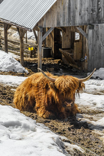 View of an animal on snow covered field