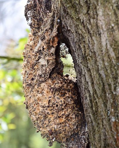 Insect Photography Oak Processionary Moth Nest Cocoon Tree Outdoor Photography Growth Development Nature Close-up Poison