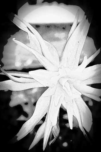 Narzissen (!)... never seen this kind before. Narcissus Edited My Way Cartoon Effect  White Album Studies Of Whiteness Black & White B&W Collection Ladyphotographerofthemonth Flower Collection Flowers Flowers, Nature And Beauty Spring Flowers Narcissus Flowers , special breed, Beautiful Flowers Things I Like Showcase: April