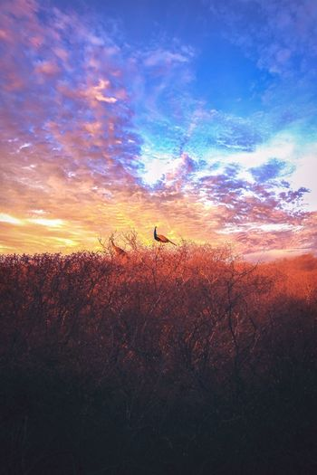 High definition Bird Clouds Peacock Sky Sunset Beauty In Nature Cloud - Sky Scenics - Nature Land Nature Silhouette Unrecognizable Person Field Tranquility Plant Real People Landscape Tranquil Scene Orange Color Outdoors Idyllic Non-urban Scene The Still Life Photographer - 2018 EyeEm Awards