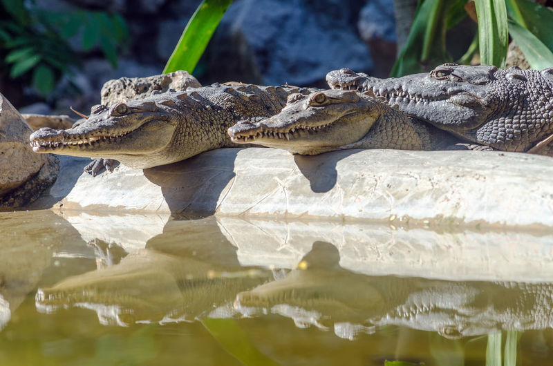 Crocodiles By Pond In Forest