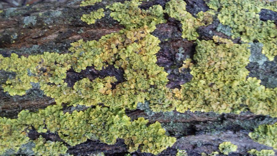 дерев цфеток