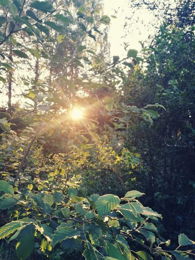Nature Sunlight Sunbeam Growth Tree Lens Flare Beauty In Nature Leaf Sun No People Outdoors Tranquility Plant Scenics Forest Sky Sun Through The Trees