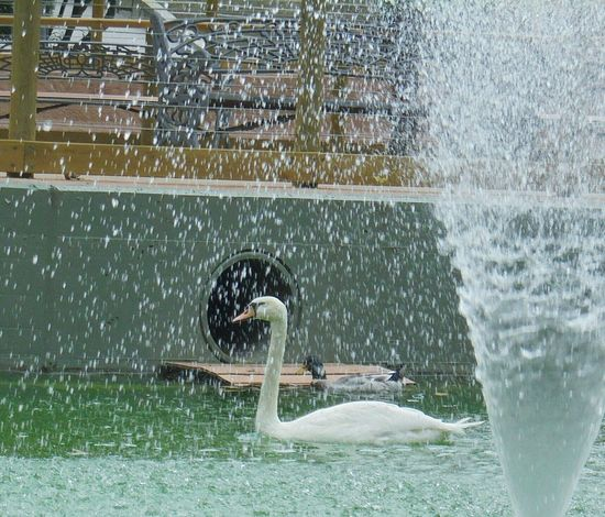 be water and fall.Goose White Artificial Raining Water Water_collection Water Reflections At The Park Observing Nature