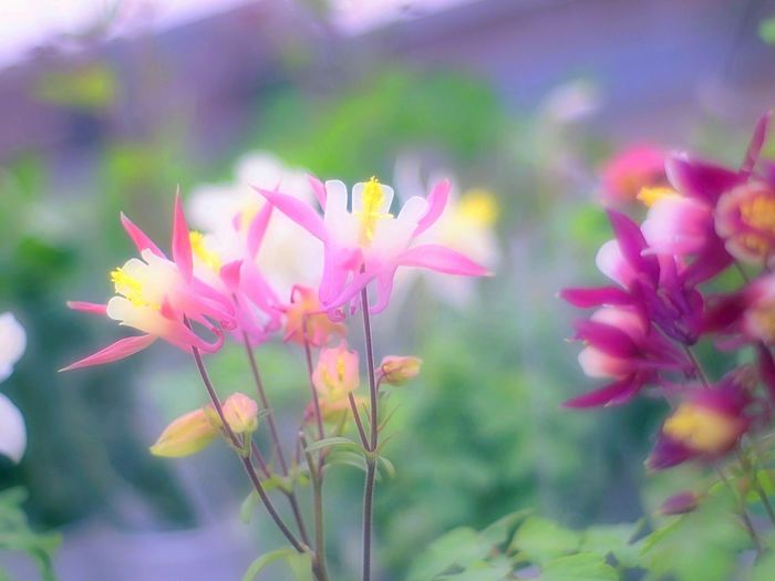 Showcase March Relaxing Taking Photos 春 EyeEm Nature Lover Bokeh Bokeheffect Takumar Fleshyplants Spring Flowers Pink Spring Colours Colorful Flower Collection オダマキ