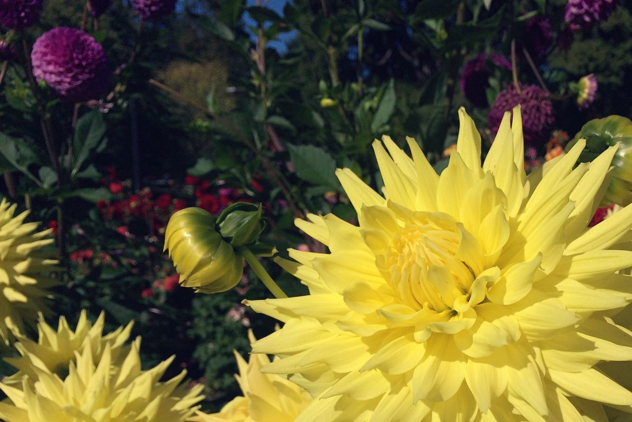 Dahlia Blooming In Garden
