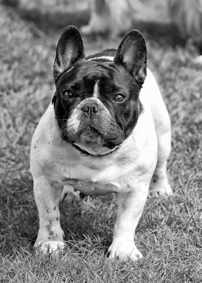 Black And White Photography Dog Dog Photo Dog Photography Dog Portrait Dog Show French Bulldog Pets Taking Photos
