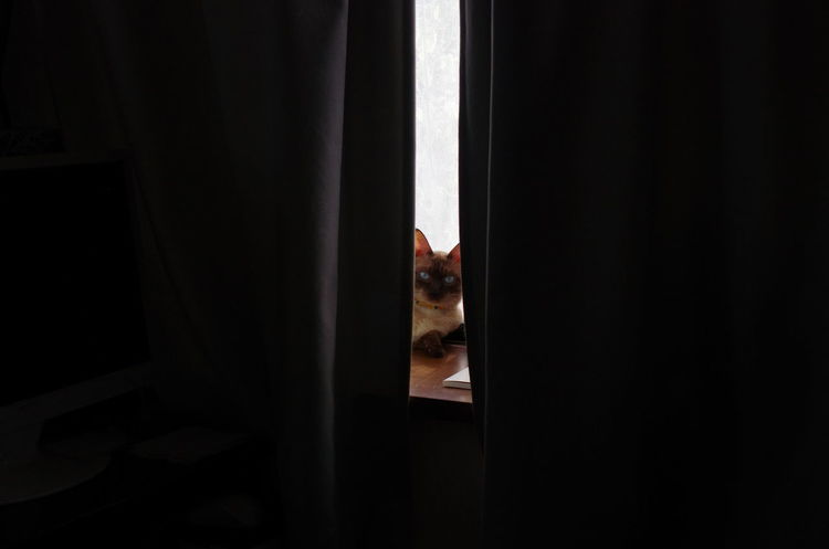 Animal Animal Themes Cat Curtain Home Looking At Camera No People One Animal Pets Window