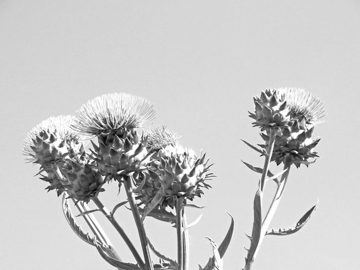 Golden thistles with black and white edit Wilted Thistle Golden Thistle Thisles Bnw Seizing Group Sunlight Black And White Black And White - Plant Flower Head Thistle Sky Close-up Plant