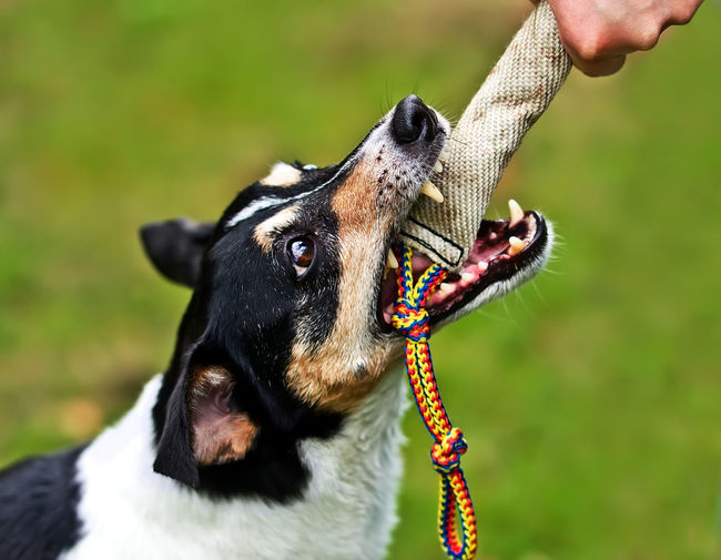 Dog biting in a training-dummy Animal Themes Animal Tongue Black Color Close-up Day Dog Domestic Animals Focus On Foreground Grass Human Body Part Human Hand Mammal Mouth Open Nature One Animal One Person Outdoors Pets Real People Training