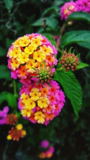 flores del norte Flores Naturaleza🌾🌿 Nature Momentos Satifaction Biutifull Day Lugares Zinnia  Multi Colored Petal Purple Close-up Plant Flowering Plant Lilac Lantana Botany Inflorescence Colored
