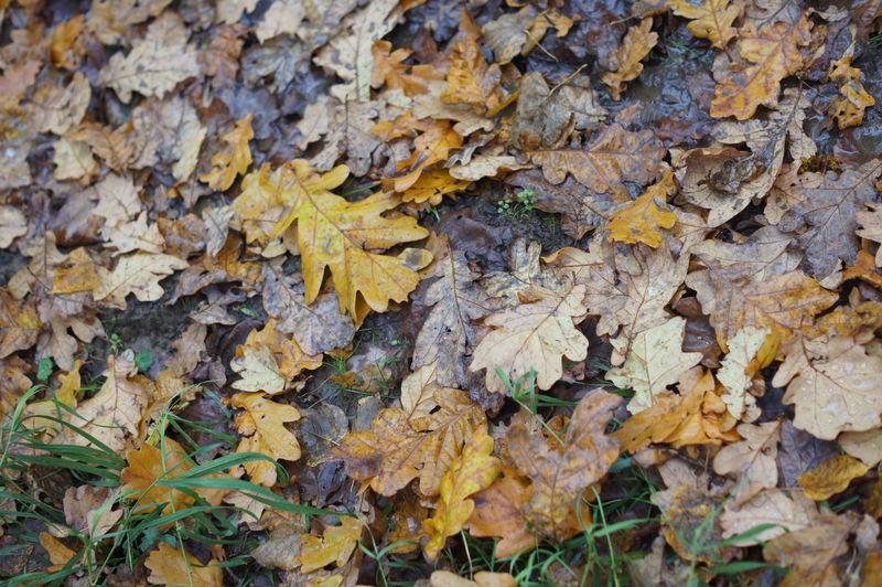 Full frame shot of dry maple leaf on land