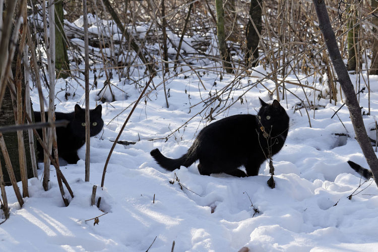 Cats on snow field during winter