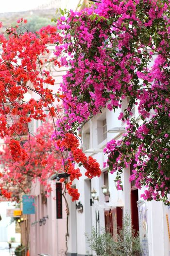 Bougainvillea street Nafplion Nafplion, Argolis Architecture Beauty In Nature Blooming Blossom Bougainvillea Branch Day Flower Freshness Growth Hanging Low Angle View Nafplio Nature No People Peloponnese Pink Pink Color Plant Street Tree