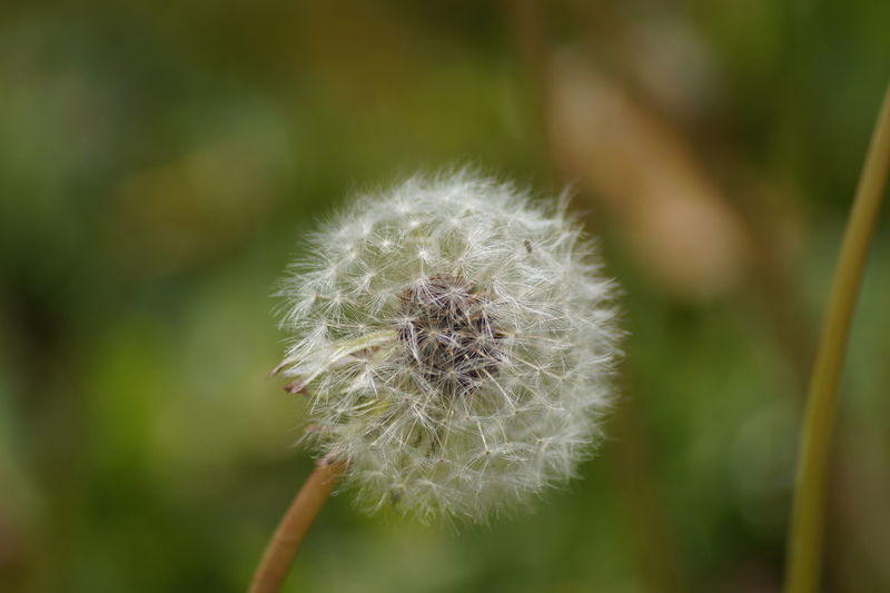 Dandelion Flower Head Fragility Nature No People Seed Softness White Color