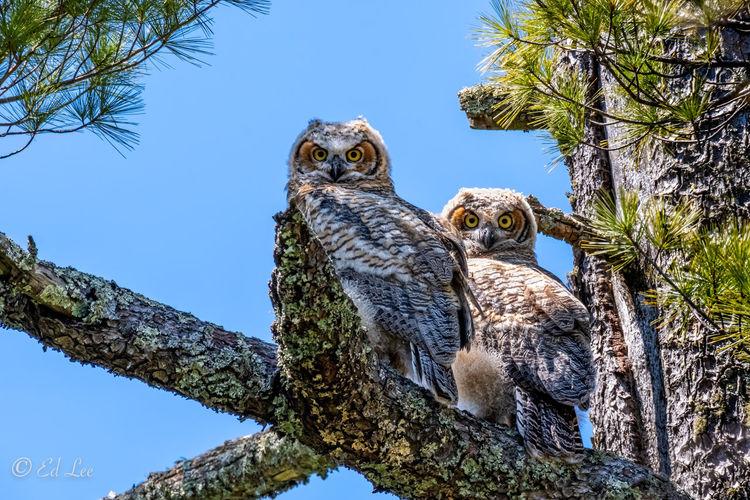 Great horned owls fledglings
