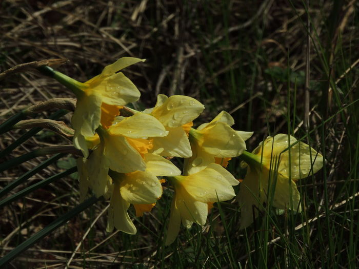 Daffodil after