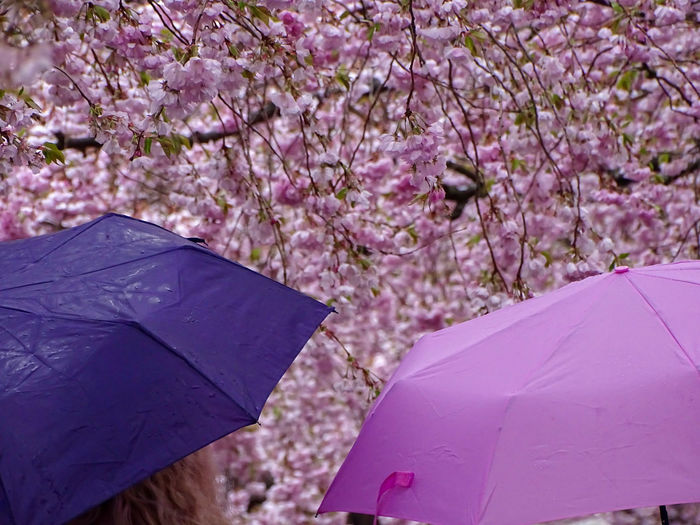 I'm singing in The rain .. in the cherry blossoms smile 💜💜 HAPPY WEEKEND 😉🎶💜 Popular Photos Flower Collection Flowerlovers Beauty In Nature Best EyeEm Shot Denmark Avenue Cherry Trees Woman Photographer Rainy Days Umbrellas Beauty In Nature Tree Flower Springtime Branch Pink Color Flower Head Blossom Protection Close-up Sky Cherry Tree Cherry Blossom Fruit Tree Parasol In Bloom