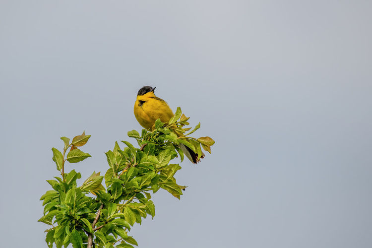 Black headed yellow wagtail (motacilla flava) in natural habitat Yellow Wagtail Motacilla Flava Animal Wildlife Bird Animals In The Wild Animal Themes Animal Vertebrate One Animal Perching Plant Clear Sky Copy Space Low Angle View Plant Part Nature Leaf Green Color Sky No People Tree Day Outdoors
